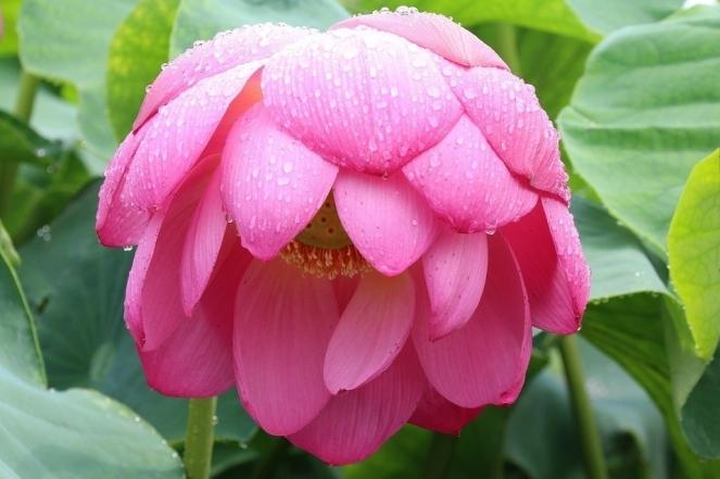 Summer A Rainy Day Pink Flower Lotus Gwangokji