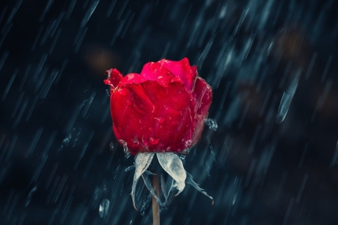 Nature Raindrop Red Wet Drip Rose Rain Leaf